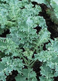 Brassica oleracea 'Winterbor'