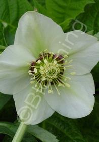 Helleborus x hybridus 'Mardi Gras Celadon'