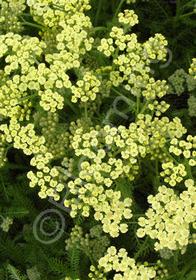 Achillea tomentosa 'Lemon'