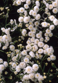 Achillea ptarmica 'Angel's Breath'
