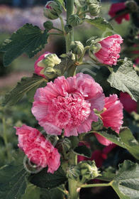 Alcea rosea 'Chater's Double Salmon Pink'
