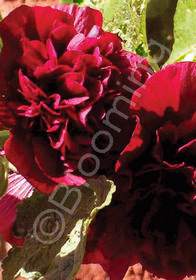 Alcea rosea 'Chater's Double Red'