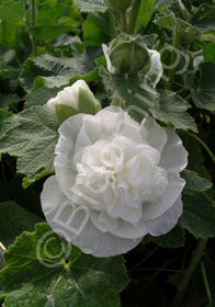 Alcea rosea 'Chater's Double White'