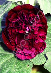 Alcea rosea 'Chater's Double Purple'