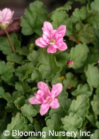 Erodium x variabile 'Flore Pleno'
