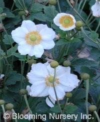 Anemone x hybrida 'Alba'