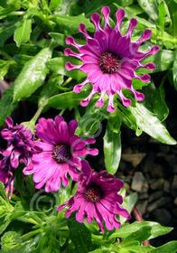 Osteospermum ecklonis 'Nasinga Purple'