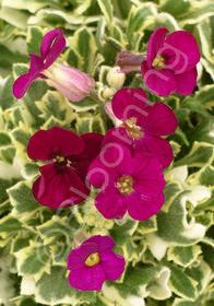 Aubrieta 'Red Flowering Variegated'