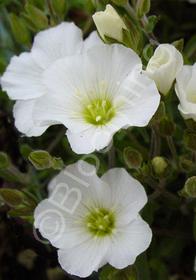 Arenaria montana