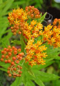 Asclepias tuberosa 'Gay Butterflies'