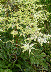 Astilbe x japonica 'Avalanche'