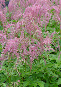 Astilbe thunbergii 'Ostrich Plume'