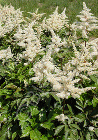 Astilbe x japonica 'Gladstone'
