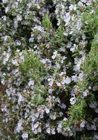 Rosmarinus officinalis 'Barbecue'