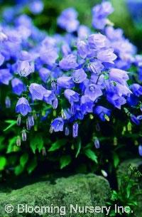 Campanula cochleariifolia 'Bavarian Blue'