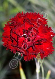Dianthus caryophyllus 'King of the Blacks'