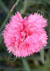 Dianthus caryophyllus 'Grenadin Pink'