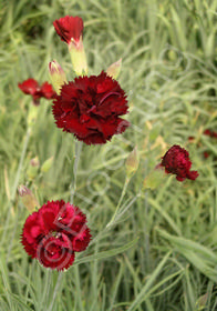 Dianthus caryophyllus 'Grenadin Cardinal Red'