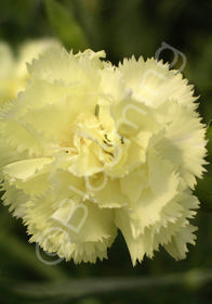 Dianthus caryophyllus 'Golden Sun'