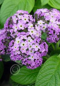Heliotropium 'Fragrant Delight'