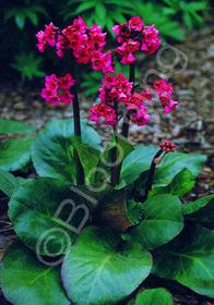 Bergenia cordifolia 'Winterglut'