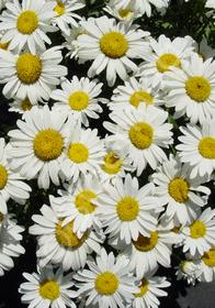Leucanthemum x superbum 'Snowcap'
