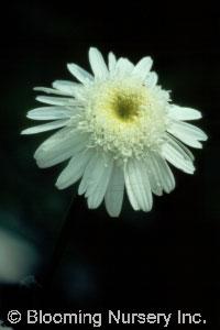 Leucanthemum x superbum 'Thomas Killen'