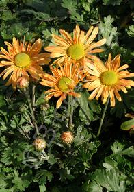 Dendranthema zawadskii x latilobum 'Mary Stoker'