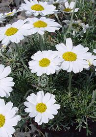 Chrysanthemopsis hosmariense