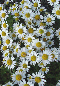 Dendranthema weyrichii 'White Bomb'