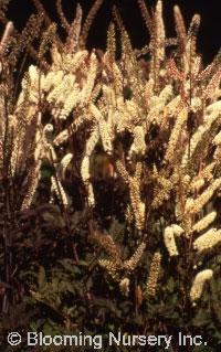 Cimicifuga ramosa 'Atropurpurea'