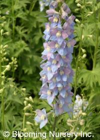 Delphinium 'Pacific Giants Guinevere'