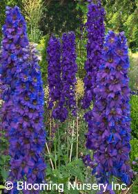 Delphinium 'Magic Fountains Mix'