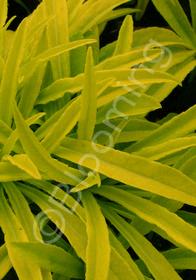 Campanula persicifolia 'Kelly's Gold'