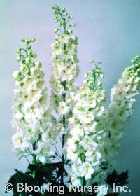 Delphinium Magic Fountains 'Pure White'