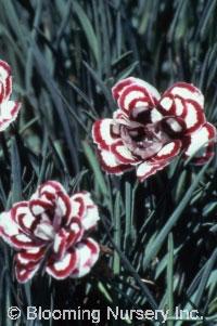 Dianthus plumarius 'Dad's Favorite'