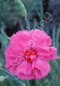 Dianthus plumarius 'Essex Witch'