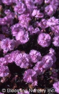 Dianthus plumarius 'Pike's Pink'