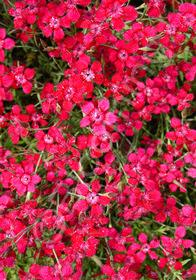 Dianthus deltoides 'Brilliancy'