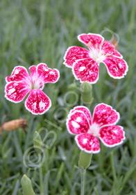 Dianthus gratianopolitanus 'Spotty'