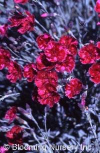 Dianthus gratianopolitanus 'Crimson Treasure'