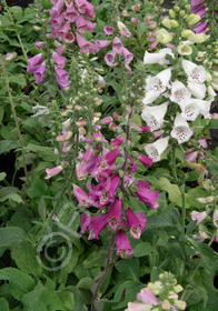 Digitalis purpurea 'Excelsior Hybrids'