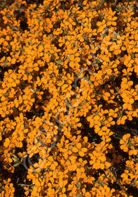 Erysimum kotschyanum 'Orange Flame'