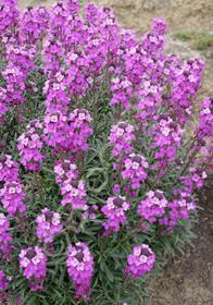 Erysimum linifolium 'Bowle's Mauve'