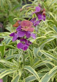 Erysimum linifolium 'Variegata'