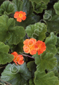 Geum x coccineum 'Fire Lake'