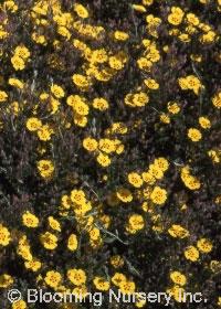 Halimium ocymoides
