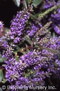 Hebe 'Purple Picture'
