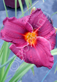 Hemerocallis 'Cape Cod'