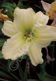 Hemerocallis 'Irish Beauty'